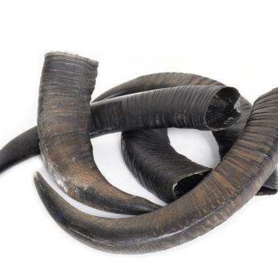 waterbuffel hoorn