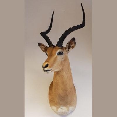 Opgezette impala kop