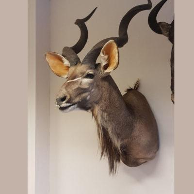 Opgezette kudu kop
