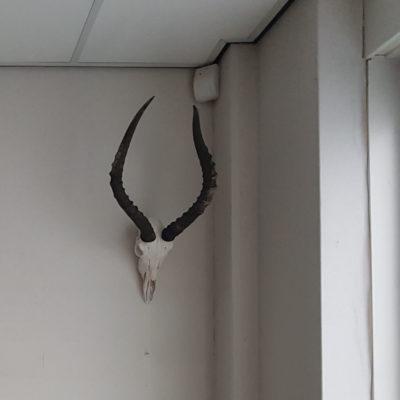 springbok schedels